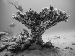 Mount Coral (Niklas FliNdt) Tags: blackandwhite blackwhite bw water underwater corals fish diver diving scuba freediving travel nature outdoor noair mountain