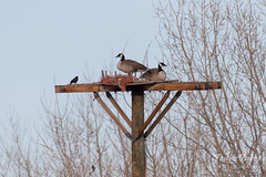 March 18, 2018 - The Osprey will not be happy to see their home taken over