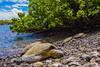 turtle5Mar26-18 (divindk) Tags: cheloniamydas hawaii hawaiianislands makenabeach makenalanding maui scientificname diverdoug endangeredspecies greenseaturtle marine ocean sea seaturtle turtle