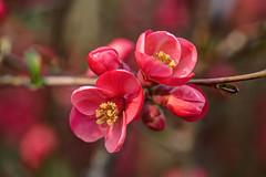 I FIORI COME LI VEDO IO.... (FRANCO600D) Tags: chaenomelesspeciosa fiordipesco fiore primavera flower cydonia arbusto flora canon eos600d macro petali rosa colori bokeh hdr franco600d