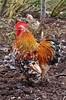 DSC06264 (olliethewino) Tags: chicken nationaltrust cockerel rooster felbrigghall
