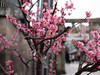 P1010438 (Mickey Huang) Tags: panasonic gx7 mk2 gx80 gx85 mft m43 osaka japan 日本 travel 旅行 大阪天滿宮 plum blossom flowers bokeh 梅花