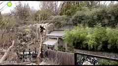 Climb, Fall, Run, Roll, Hide 2018-04-03 (MyFoto:)) Tags: ccncby panda cub endangered vulnerable beibei smithsonian nationalzoo climbing falling hiding rolling sliding standing upsidedown visitors