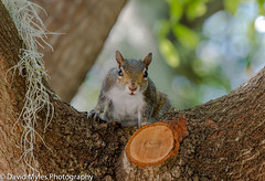 Grey Squirrel (mylesfox) Tags: squirrel animal tree branch