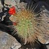 CAE010730a (jerryoldenettel) Tags: 180329 2018 beehivecactus cactaceae caryophyllales coreeudicots echinocereus echinocereuscoccineus nm oliverleestatepark oteroco scarletbeehivecactus wildflower cactus flower scarlethedgehogcactus scarlethedgehog