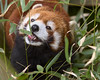 Feeding Time at the Zoo (Chancy Rendezvous) Tags: chancyrendezvous davelawler blurgasmcom blurgasm panda redpanda red animal zoo rogerwilliams bamboo eating feeding leaves cute ailurusfulgens lesserpanda