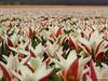 Tulips (Corine Bliek) Tags: flowers flower blooming bloei bollenvelden bulbs dutch hollands flowerfields bulbfields spring voorjaar