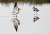 Avocets Standing in Pond (rlb1957) Tags: recurvirostraamericana americanavocet coyotecreeklagoon donedwardssanfranciscobaynationalwildliferefuge standing pair pond