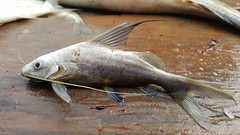 Myanamr Chindwin Catfish