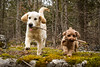 14/52 Ben...and Pixie - Synchronized stick running (Pyper Pup) Tags: 52weeksfordogs ben
