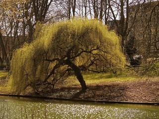 Le saule qui du chagrin - The sad willow