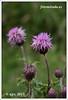 Cardos en Escocia. Thistles in Scotland. #Scotland  #Escocia (Algarval de fotomirada) Tags: escocia scotland