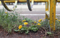 Dandelions on the playground (odeleapple) Tags: pentax spotmatic sp supertakumar 55mm fujicolorsuperiaxtra400 film dandelion flower yellow playground