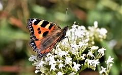 Tortoiseshell feeding. (pstone646) Tags: butterfly insect pollination flower animal feeding wildlife colour closeup beauty bokeh kent fauna flora