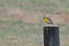 Eastern Meadowlark & spring shower (deanrr) Tags: meadowlark bird post rain raindrops shower spring morgancountyalabama nature alabamanature outdoor yellow grass field wood tree feathers