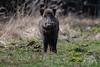Wild Boar (fascinationwildlife) Tags: animal mammal wild wildlife nature natur boar male field forstenried forest wildschwein spring germany deutschland munich münchen europe