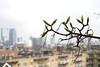 Maple Leafs Skyline (Ron van Zeeland) Tags: maple ahorn acer esdoorn rotterdam nature trees skyline macro urbannature spring lente city sky tree building