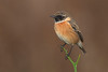 stoonechat (leonardo manetti) Tags: uccello bird nature red winter colours naturephotography field natural nikkor countryside green morning black stonechat