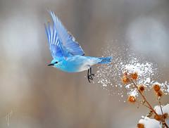 'Bluebird in the Snow' (timjhopwood) Tags: mountainbluebirds sialiacurrucoides calgary snow winter spring
