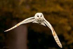 silent visitor (jeff.white18) Tags: barnowl owl birdofprey nature wings bird feathers flight nikon fly portrait inflight flickr