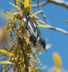 2018-04-16 P1333352 Cerulean Warbler (Tara Tanaka Digiscoped Photography) Tags: bird migration stgeorgeisland sgisp digiscoped manualfocus ceruleanwarbler swarovskistx85 digidapter mirrorless gh5