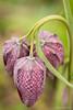 triplet (beltmg) Tags: kievitsbloem fritillariameleagris flower chessflower schachbrettblume zwolse tulp overijssel vechtdal vecht devecht fritillaria zwolle haerst