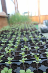 Greenhouse Sprouts