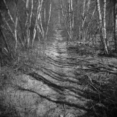 The Old Cart Road #1 (LowerDarnley) Tags: holga dogtown dogtowncommons road woods cartroad gloucester ma capeann birches birchtrees overgrown pastureland moraine berggerpancro400
