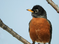 A bright and cheery American Robin (annkelliott) Tags: alberta canada swofcalgary nature ornithology avian bird birds robin americanrobin turdusmigratorius songbird male largestnorthamericanthrush thrush migratory perched frontsideview zoomed tree branch sky outdoor spring 20april2018 nikon b700 annkelliott anneelliott ©anneelliott2018 ©allrightsreserved