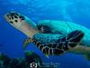 Hawksbill Head (R. Donald Winship Photography) Tags: aquaticlife cozumel divingunderwater hawksbillturtle palancarcavesreef