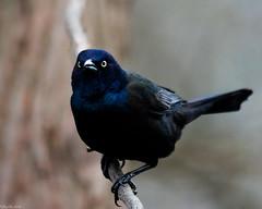 Angry Bird (Fred Roe) Tags: nikond810 nikkorafs80400mmf4556ged nikonafsteleconvertertc14eii nature wildlife birds birding birdwatching birdwatcher grackle commongrackle quiscalusquiscula peacevalleypark