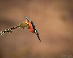 MMDX6889jpg (mikemarshall2) Tags: kingfisher feeding perch diving