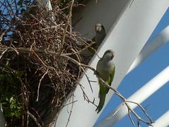 ich bleib zu Hause-I stay at home (Anke knipst) Tags: valencia spanien spain l'umbracle ciudaddelasartesydelasciencias bird nest mönchssittig papagei parrot