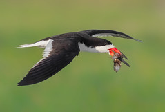 Seafood Delivery (Ania Tuzel Photography) Tags: blackskimmer nature wildlife longisland grass green inflight avian lido beak fish nickersonbeach