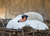 nesting and resting... (Emma Varley) Tags: swan female nest sleeping eggs southwatercountrypark warmlight bird wild westsussex march