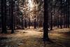 Forest - Master (Gruenewiese86) Tags: 6d canon harz herbst landschaft wald waldlandschaft landscape wälder wandern waldlandschaften waldboden orange teal forest forestscape tree baum nadelwald