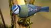 Approche .... (Phil du Valois) Tags: mésange bleue cyanistes caeruleus eurasian blue tit herrerillo común chapimazul blaumeise kék cinege pimpelmees cinciarella europea blåmes blåmeis sýkorka belasá sýkora modřinka blåmejse sinitiainen mallerenga blava eurasiàtica blámeisa modraszka zwyczajna zilzīlīte plavček лазоревка アオガラ 青山雀 歐亞藍山雀 faune sauvage libre wild wildlife free