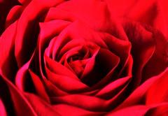 DSC_8987 (PeaTJay) Tags: nikond750 sigma reading lowerearley berkshire macro micro closeups gardens indoors nature flora fauna plants flowers bouquet rose roses rosebuds