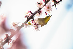 Ready to Fly (moaan) Tags: kobe hyogo japan jp bird japanesewhiteeye mejiro ume blossom blossoming inblossom branch springbranch perch springtime march dof depthoffield bokeh bokehphotography canon canonphotography canoneos5dsr ef70200mmf28lisiiusm utata 2018