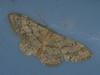 Idaea biselata - Small fan-footed wave - Малая пяденица точечная (Cossus) Tags: geometridae idaea sterrhinae пестово пяденица 2011