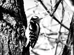 A downy woodpecker (mrsparr) Tags: downywoodpecker bird humberbayparkeast toronto ontario canada blackandwhitephotos tree 7dwf