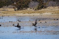 bay DSC02054 (clausholzapfel) Tags: brant goose black duck
