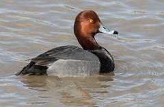 Redhead (Aythya americana) (fugle) Tags: redhead duck waterfowl washoeco nevada skyvistapond lemmonvalley divingduck aythya