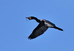 On a Mission (C-O) Tags: feb16corr feb 16corr031 whittier narrows legg lake bird birds doublecrested cormorant inflight nesting material nature south el monte ca