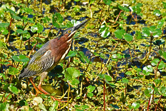 "Green Heron ""The Shape Shifter"" (M. Coppola) Tags: circlebbarreserve polk florida greenheron butoridesvirescens"