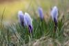 Still sleeping... (Zaphod Beeblebrox 1970) Tags: tropfen sun spring drops flowers lens regen sonne water helios444 krokus vintage frühling rain droplets flower
