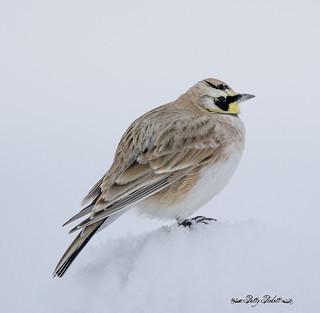 hornedlark