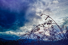 Bramble Lace (Colormaniac too - Many thanks for your visits!) Tags: clouds cloudscape sky brambles wildblackberrybrambles nature grandeur silhouette hope spring sequim olympicpeninsula washingtonstate pacificnorthwest topazstudio march netartll