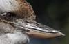 laughing kookaburra (Dacelo novaeguineae) -5097 (rawshorty) Tags: rawshorty birds canberra australia act symonston