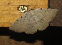 Moon-lined Moth (Bug Eric) Tags: animals wildlife nature outdoors insects bugs moths owletmoths erebidae noctuidae lepidoptera lenexa kansas usa moonlinedmoth spilolomalunilinea northamerica august252017